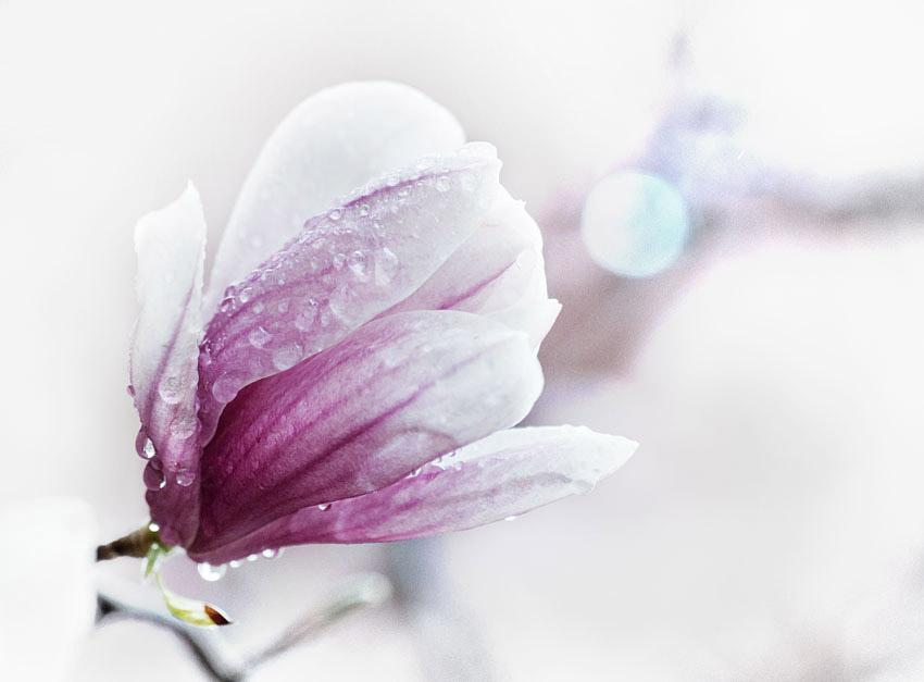 Rain-soaked Magnolia