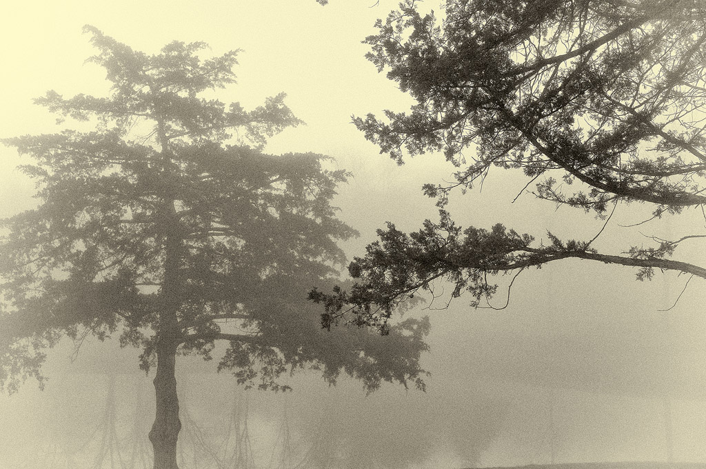 Evergreens in the Fog