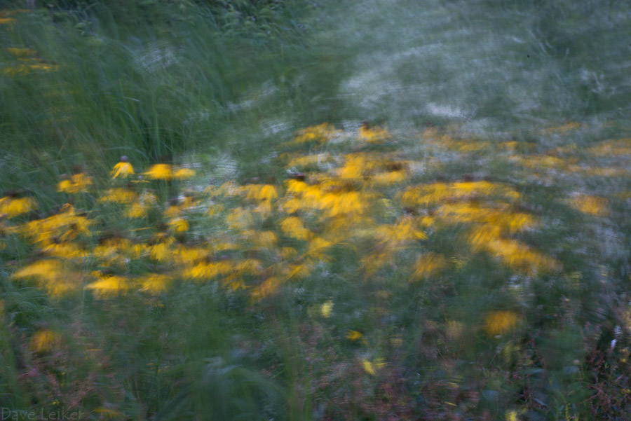 Wind Study – Black-eyed Susans