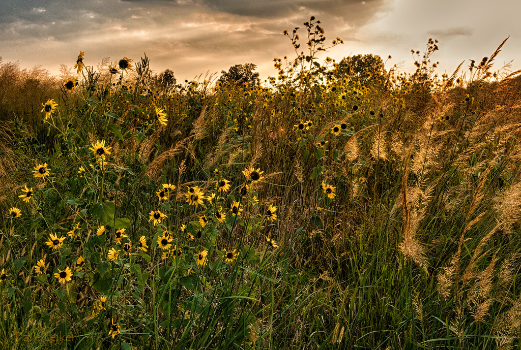 Sunflowers Gold (revised)