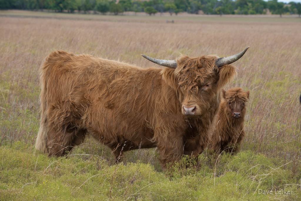 Highland Cattle – Protective Instincts #1