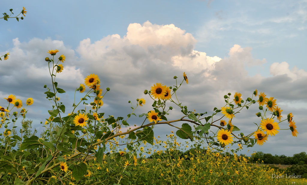Sunflowers and Cloud Bank