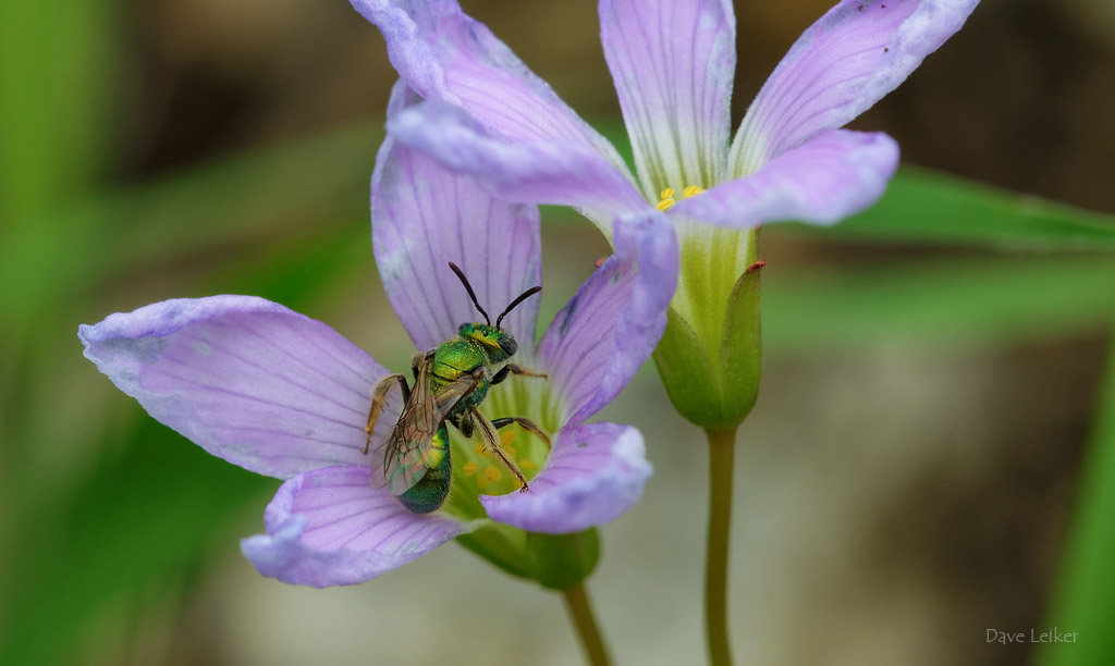 Sweat Bee on (slightly wilted) Violet Wood Sorrel