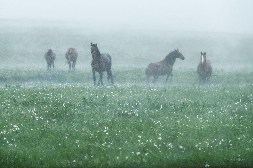 Wild Mustangs in a Rain Storm – Pastels