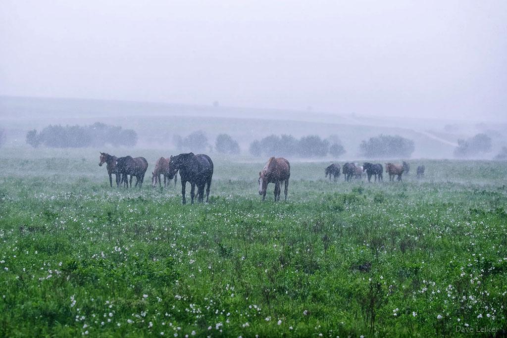 Wild Mustangs in a Rain Storm – Wildflowers
