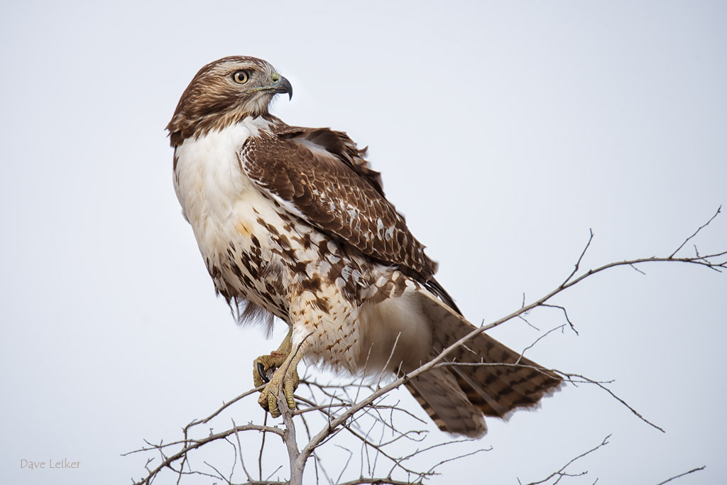 Red-tailed Hawk #2