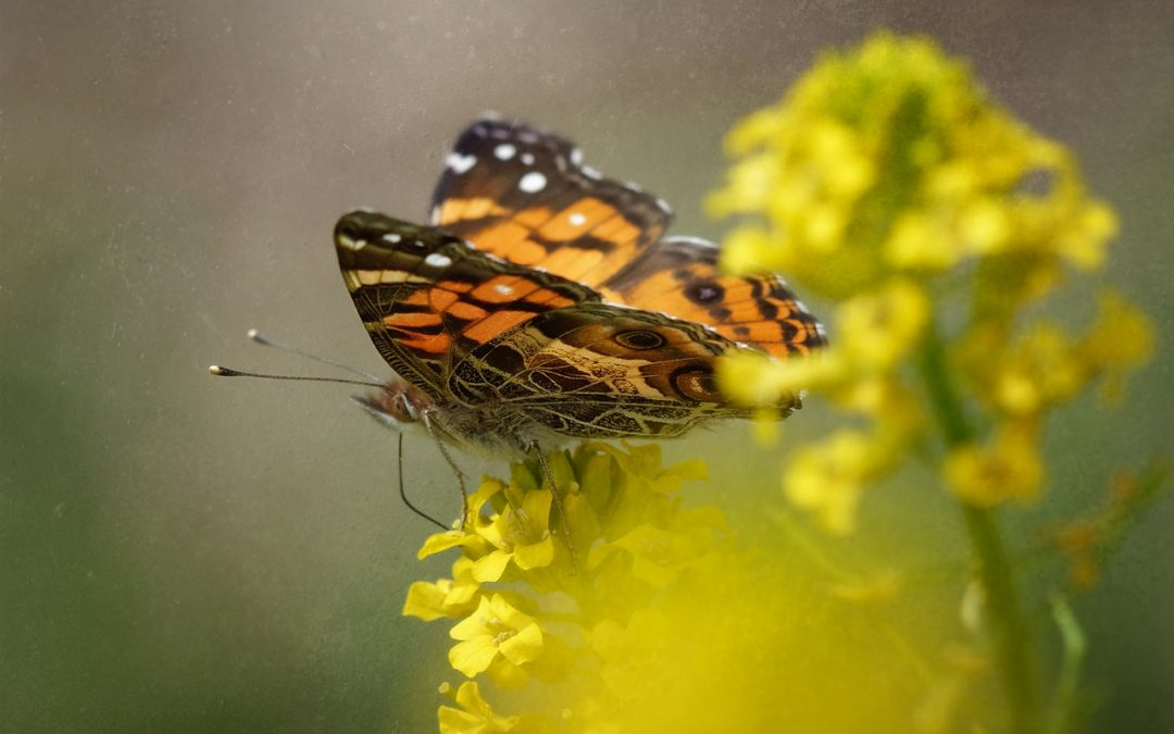 Painted Lady on Yellow Rocket
