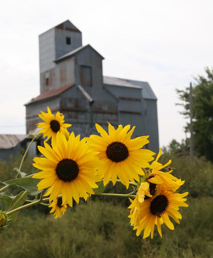 Sunflowers on Highway 50