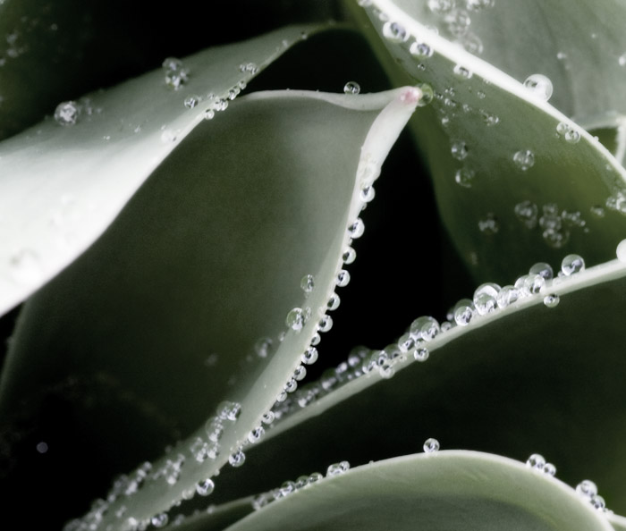 Rainy Day Tulip Leaves