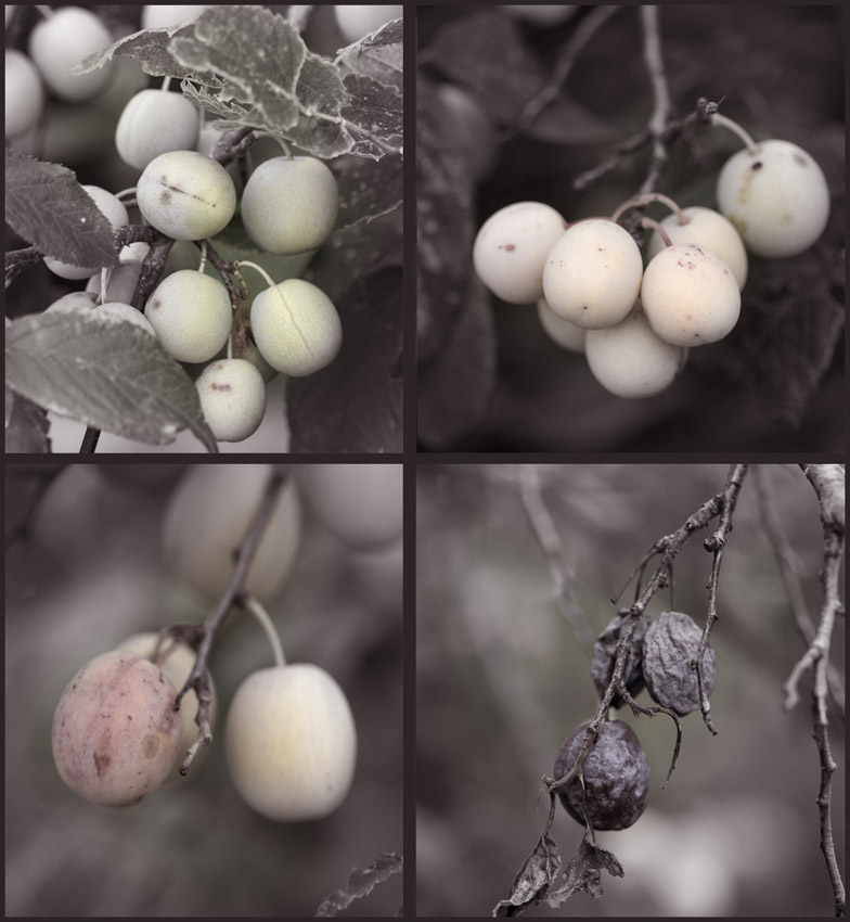 Cycle of Plums