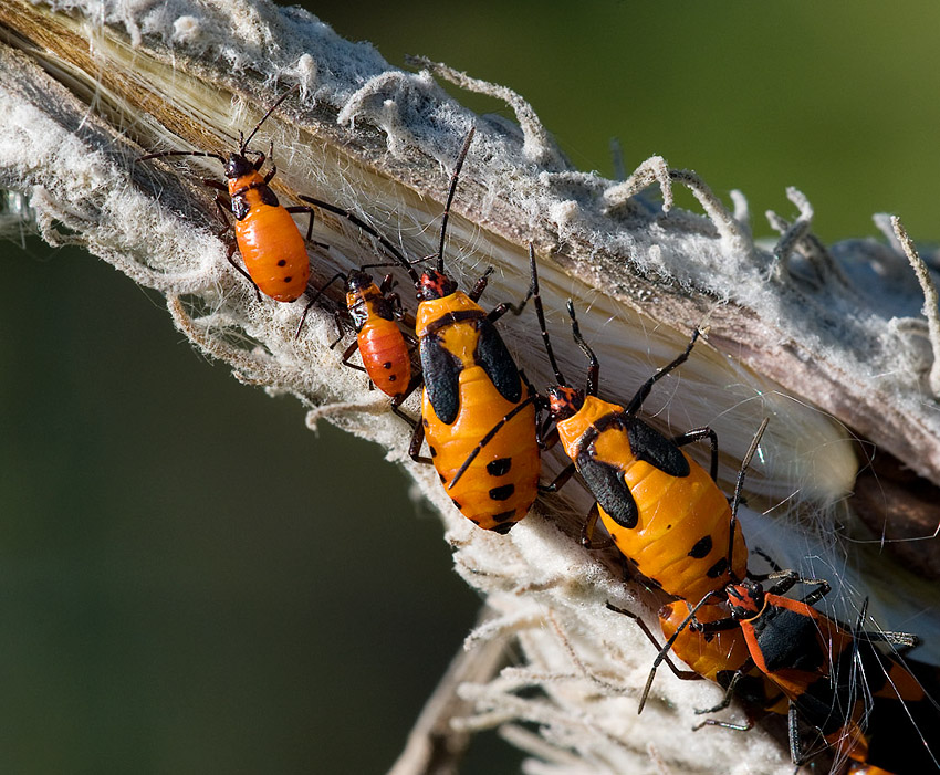 Milkweed Bugs – Moment of Togetherness