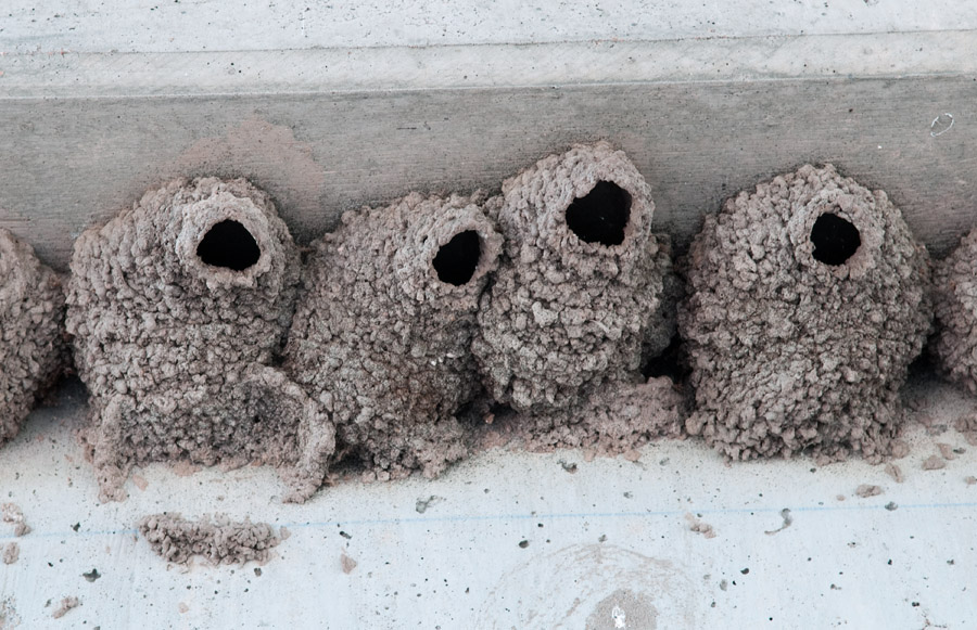 Swallow Nests #1