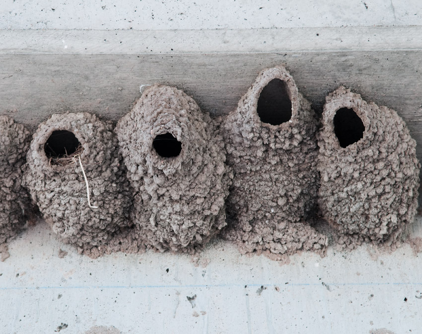 Swallow Nests #2