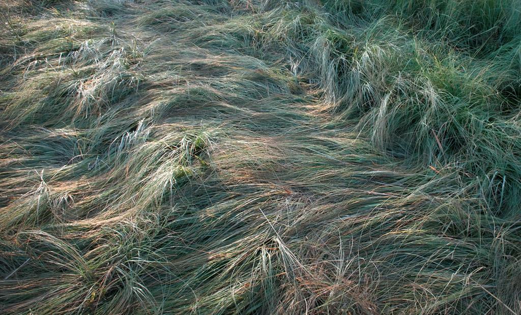 Grass Study #8915