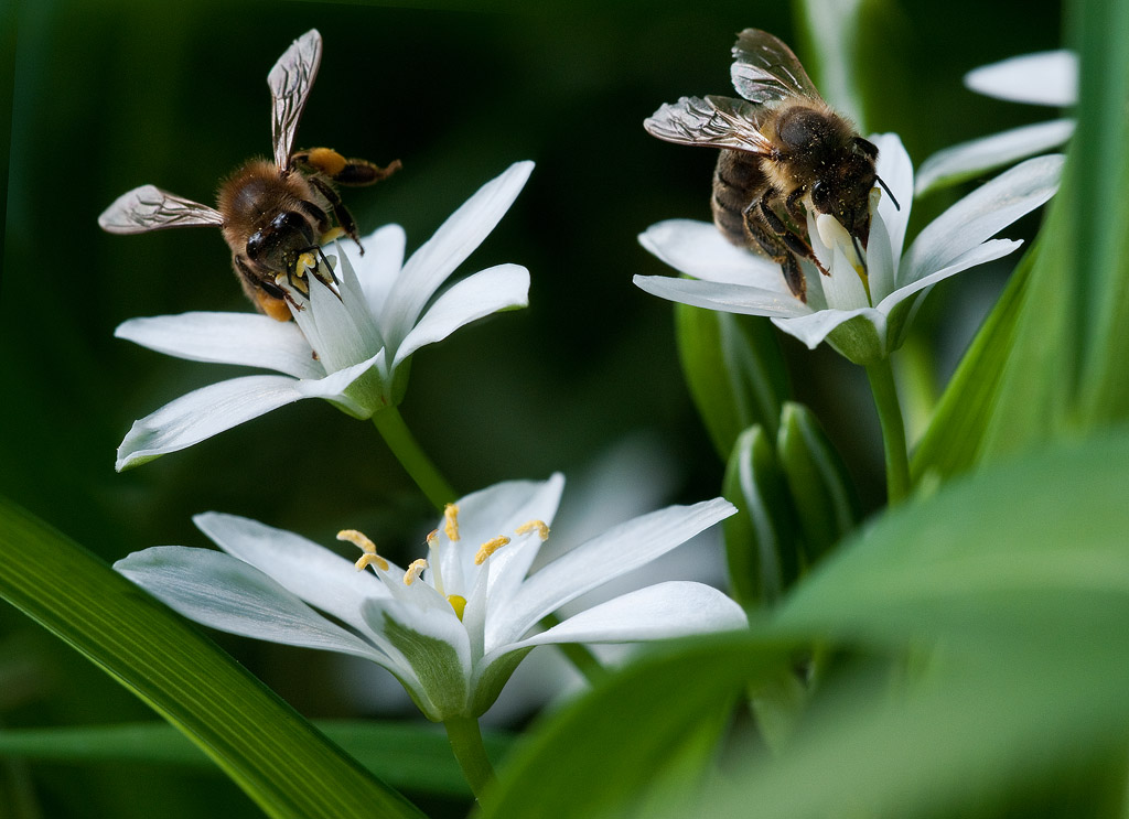 Two Bees on Star of Bethlehem