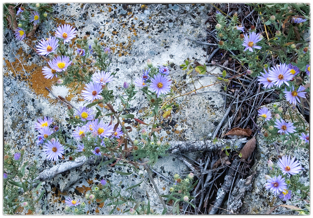 Azure Asters on Limestone