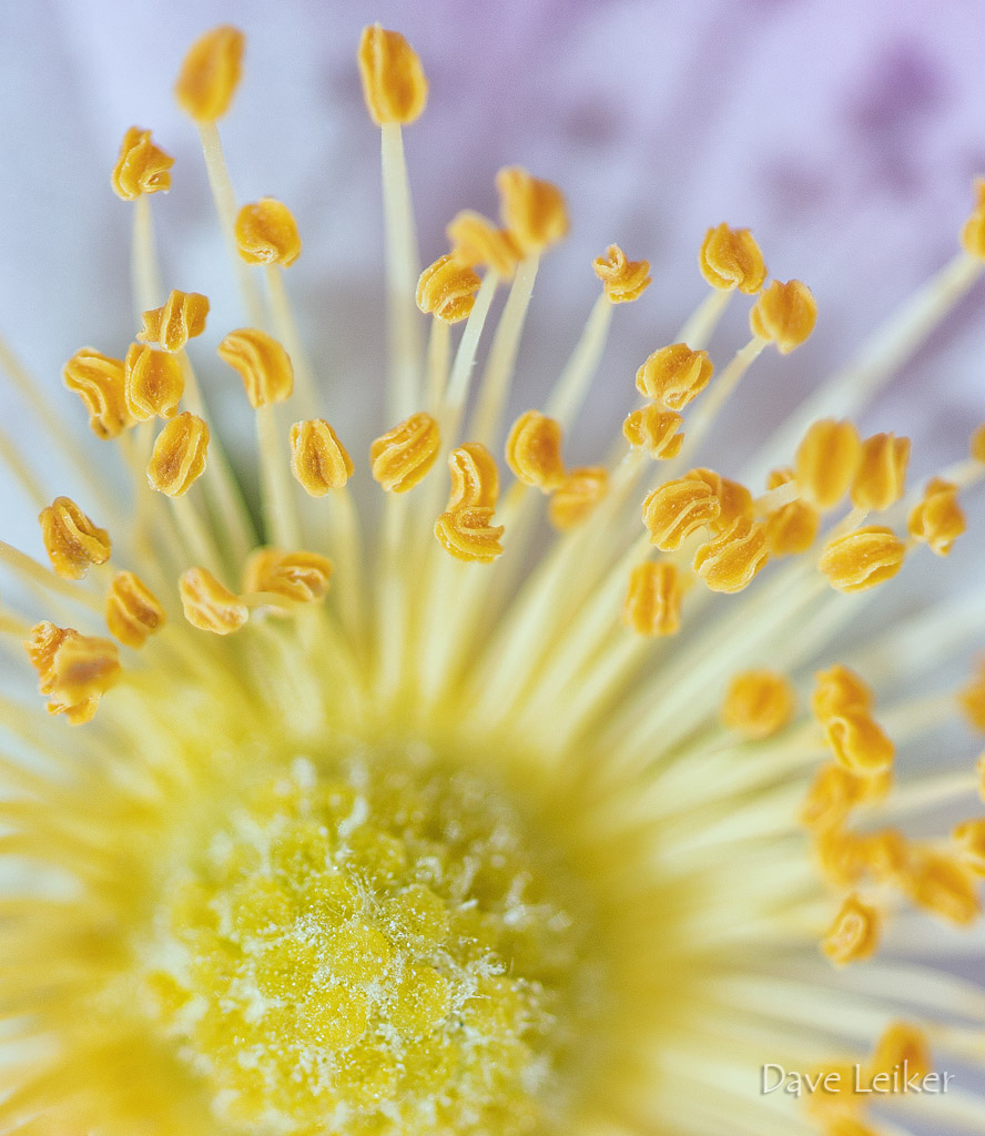 Prairie Rose – Details