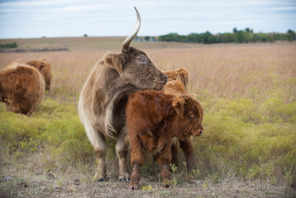 Highland Cattle – Protective Instincts #2