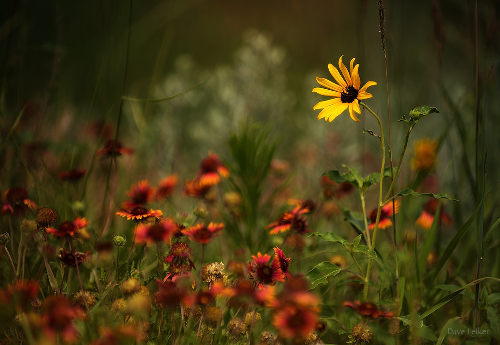 Roadside Wildflowers: Indian Blanket Flower and Black Eyed Susan