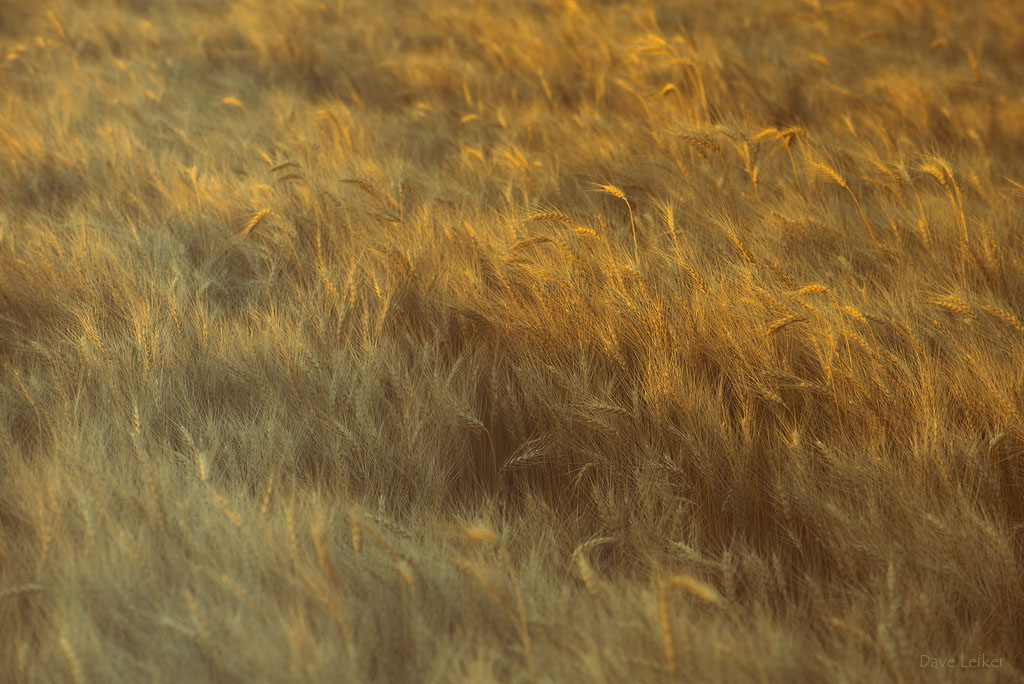 Wheat Patch