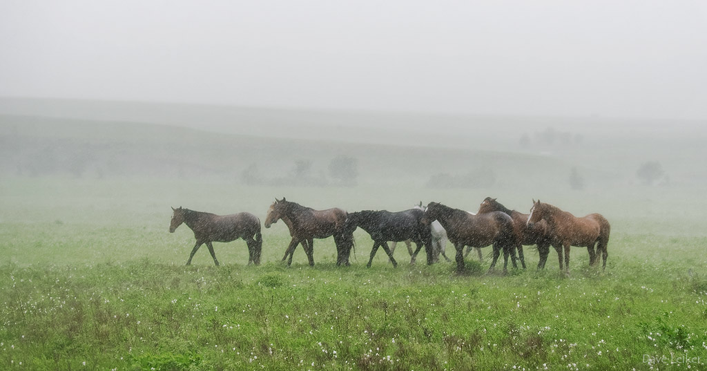 Wild Mustangs in a Rain Storm – Wash