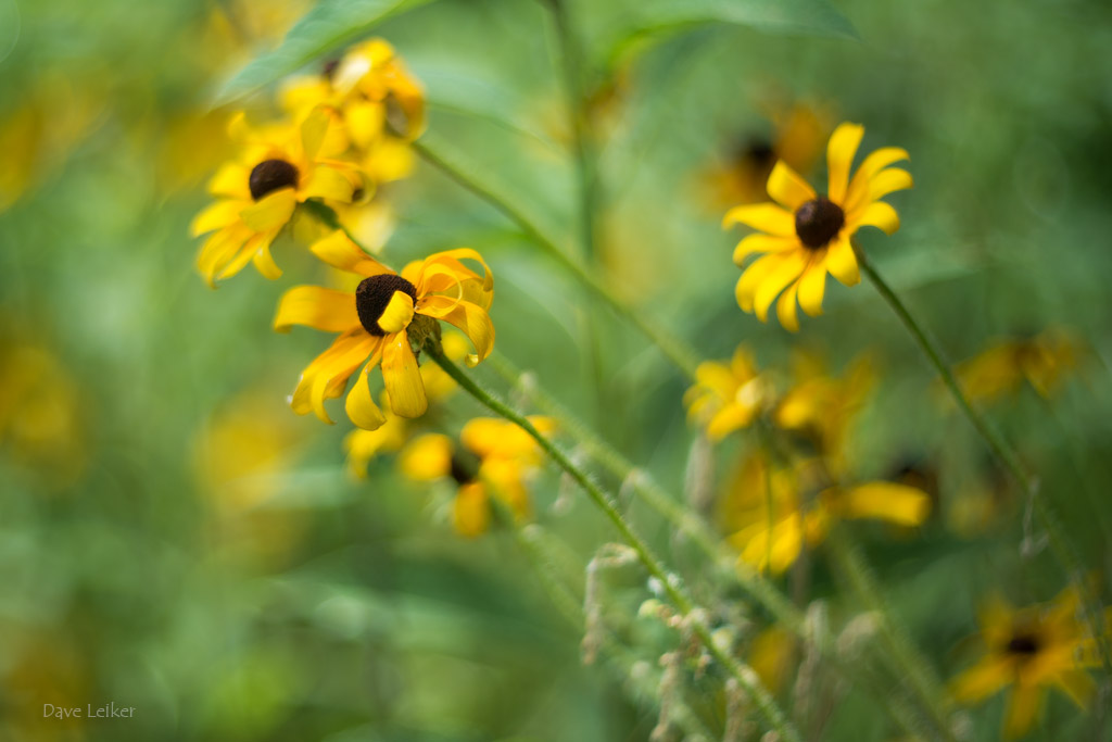 Black-Eyed Susans – Hot July Day