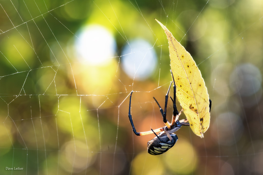 Yellow Garden Spider and Yellow Leaf