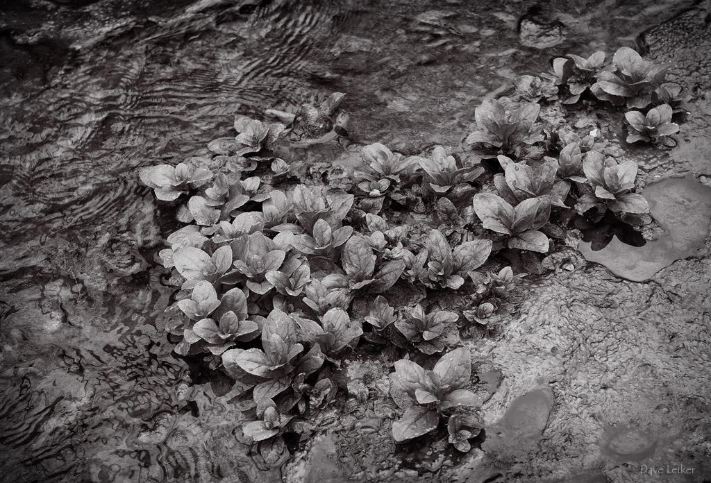 Watercress Patch