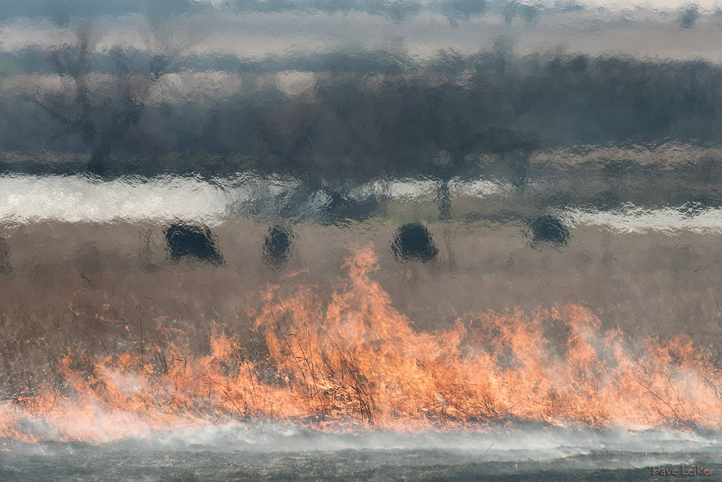 Prairie Burn and Cattle