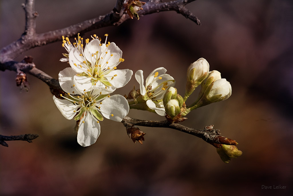 Sand Hill Plum Blossoms