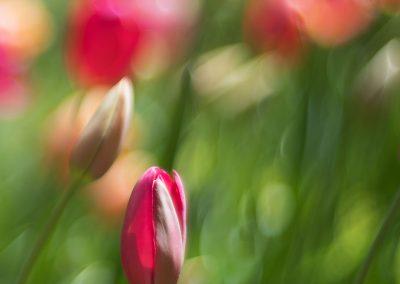 tulip_8106305_med