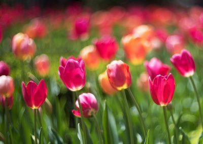 tulips_8106306_med