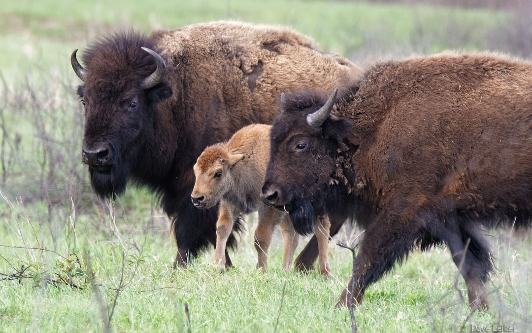 Bison Baby