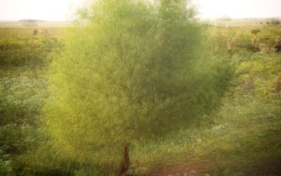 blended multiple exposure of a tree