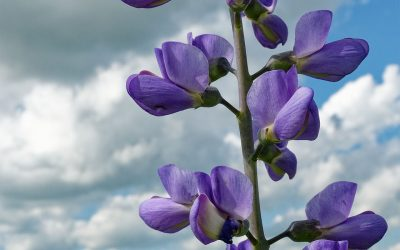 a closeup section of blue wild indigo