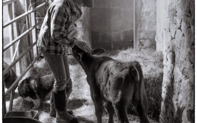 Girl bottle feeding a calf