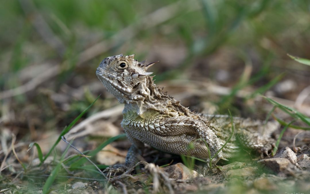Horned Lizard (Horny Toad)
