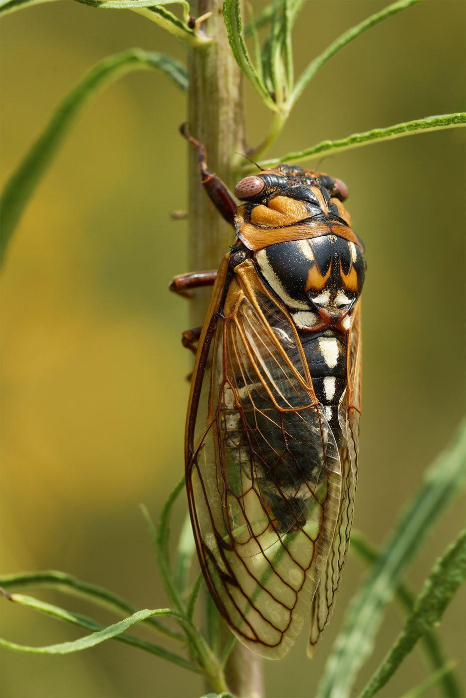 Giant Grassland Cicada