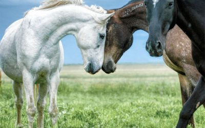 3 wild mustangs, with two pressing foreheads