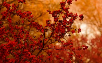 Branch covered with crabapple blossoms