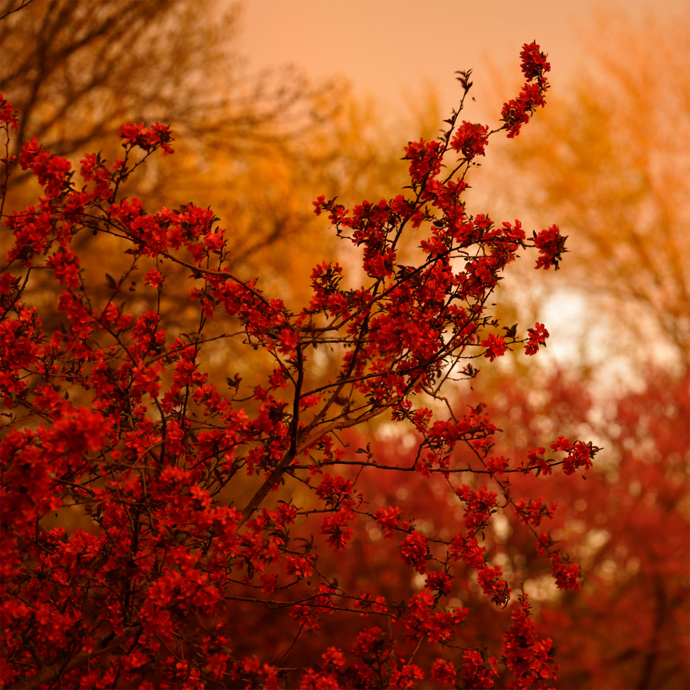 Crabapple Branch in Evening Light