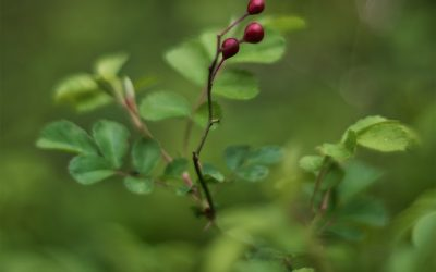 Red rose hips above fresh spring growth