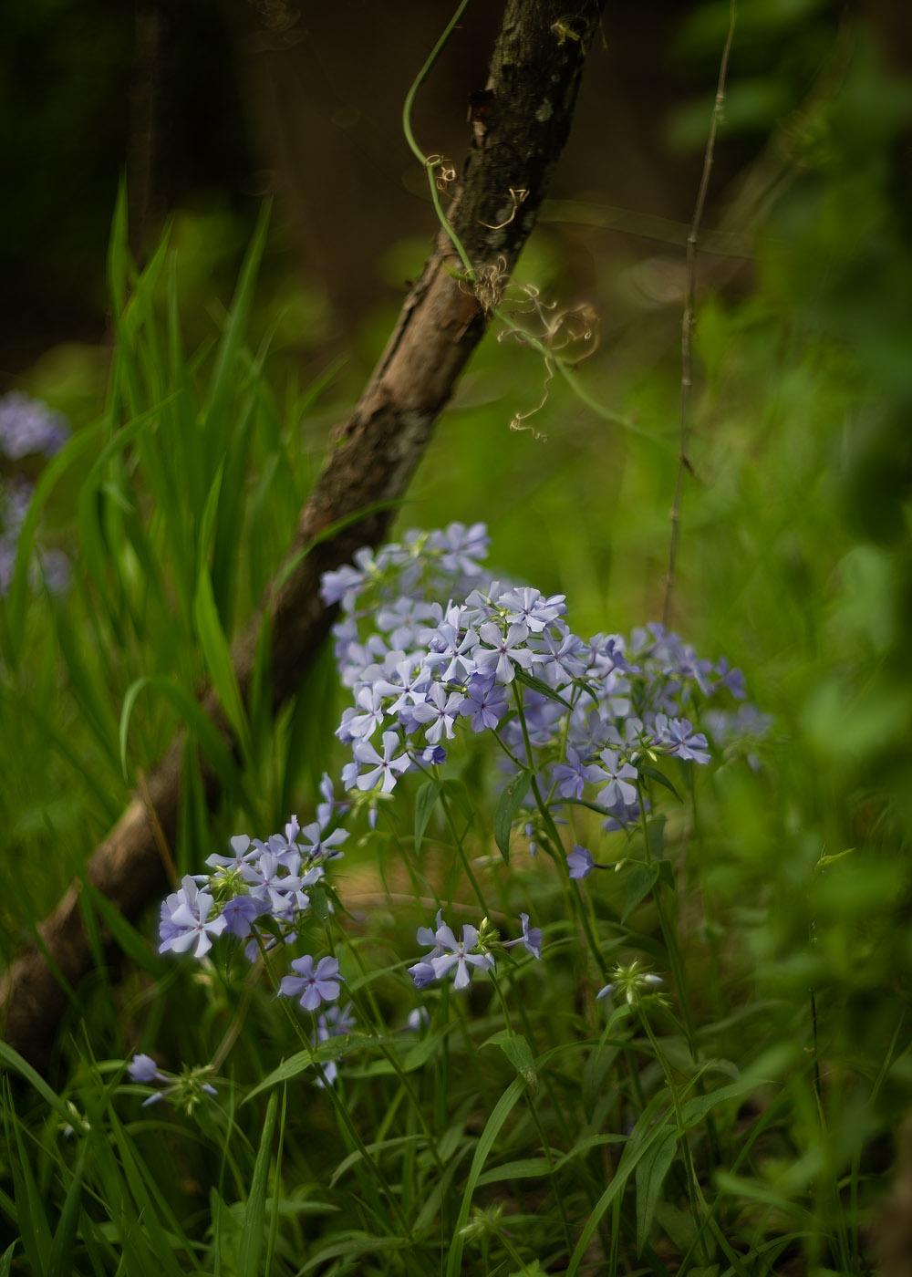 Blue Wild Phlox