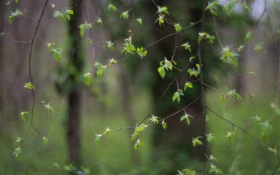 Young leaves on branches