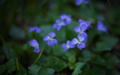 Prairie violet wildflowers