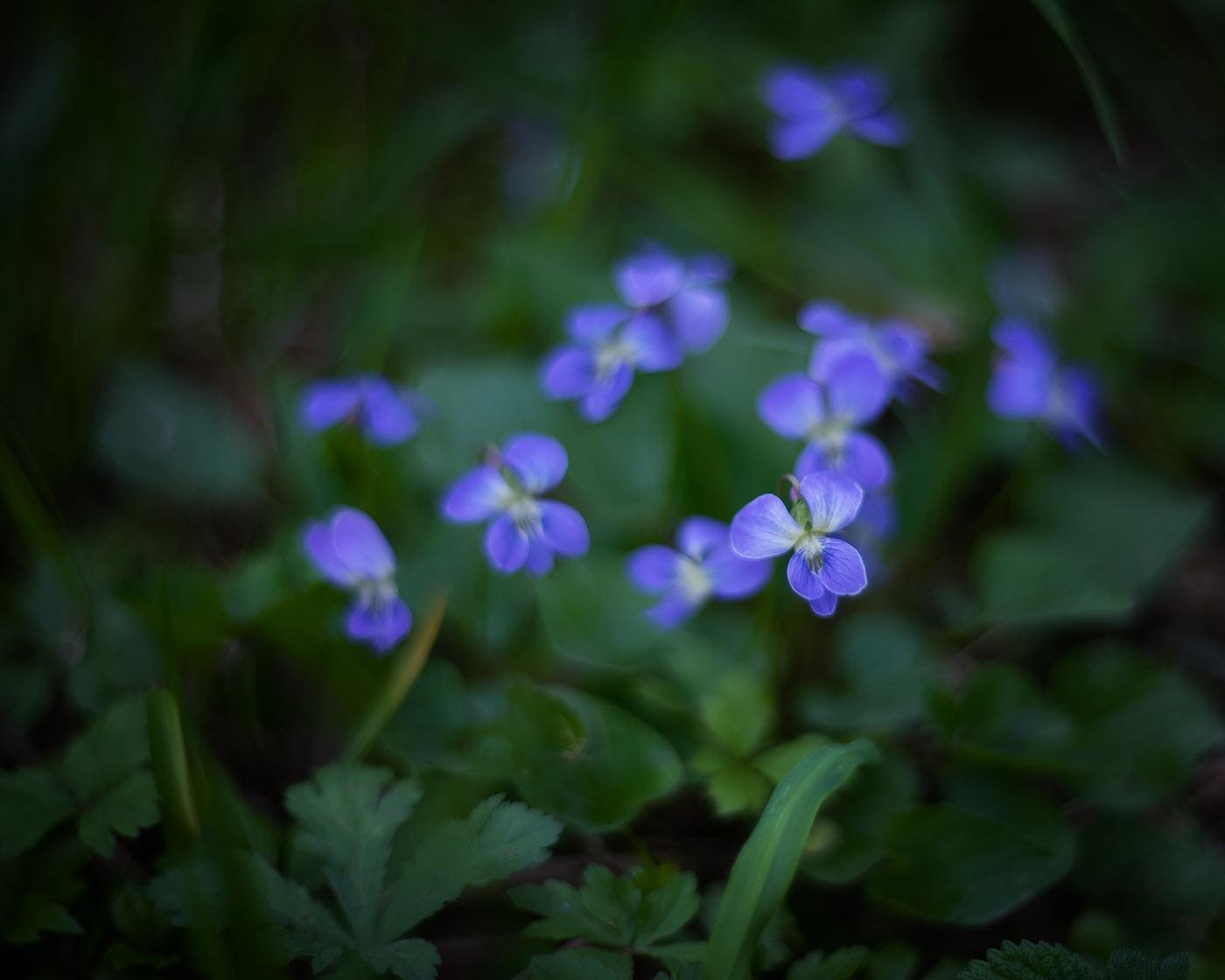 Prairie Violets