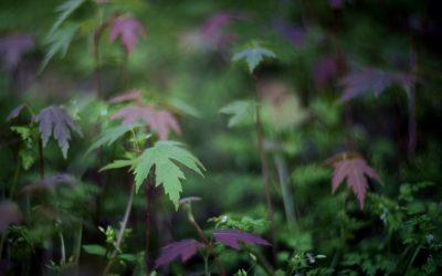 Silver maple seedlings on woodland floor