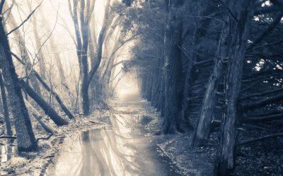 Flooded pathway through evergreens