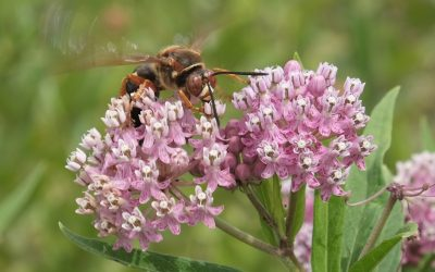 Wasp on swamp milkweed blossoms