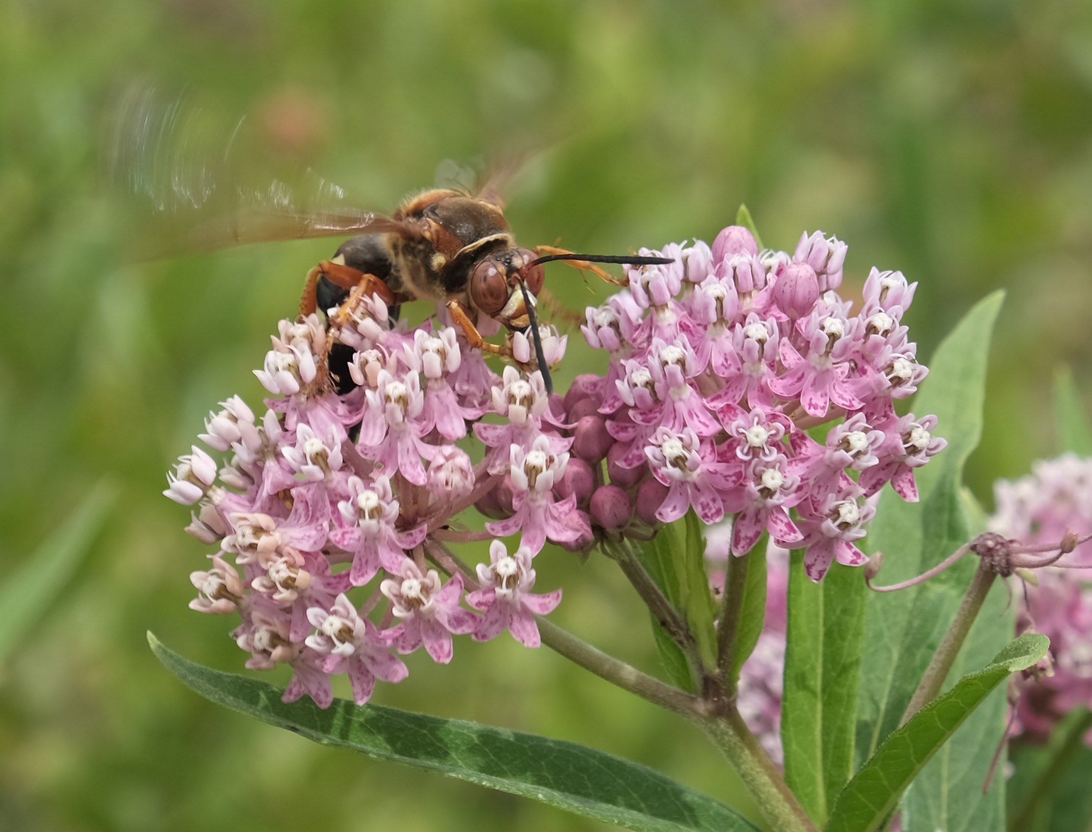 Paper Wasp on Swamp Milkweed